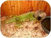 Iguana for adoption in HOUSTON, Texas - DAMON