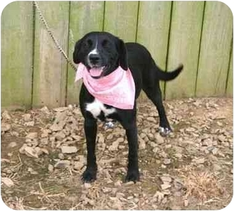 Labrador Retriever Mix Dog for adoption in Muldrow, Oklahoma - Tammie