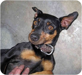 Manchester Terrier Mix Dog for adoption in Ottawa, Illinois - Sue