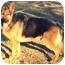 Photo 1 - German Shepherd Dog Dog for adoption in Baldwin, New York - Maximellian