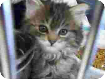 Domestic Mediumhair Kitten for adoption in Grants Pass, Oregon - Roo