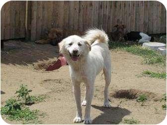 Samoyed/Retriever (Unknown Type) Mix Dog for adoption in elizabethtown, New York - Gumdrop