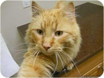 Domestic Longhair Cat for adoption in Morden, Manitoba - Boris
