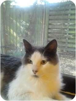 Maine Coon Cat for adoption in Lakeland, Florida - Noel