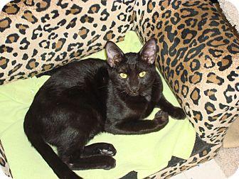 Domestic Shorthair Kitten for adoption in Phoenix, Arizona - Ricky Ricardo