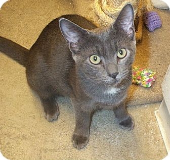 Domestic Shorthair Cat for adoption in Beacon, New York - Nessie