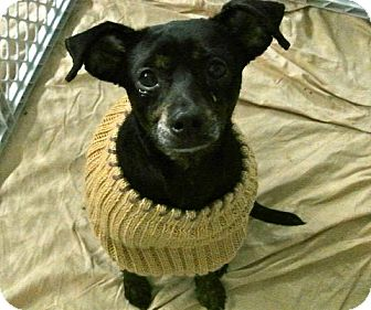 Italian Greyhound/Miniature Pinscher Mix Puppy for adoption in Minneapolis, Minnesota - Gabriel