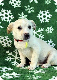 Terrier (Unknown Type, Small)/Chihuahua Mix Puppy for adoption in Westminster, Colorado - Gazelle