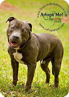 American Staffordshire Terrier Mix Dog for adoption in Orlando, Florida - Bambino