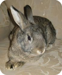 Chinchilla, American Mix for adoption in Maple Shade, New Jersey - Jessie