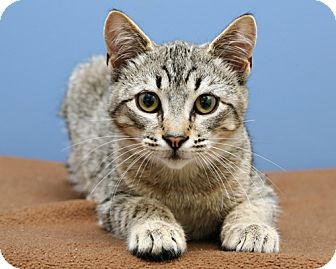 American Bobtail Kitten for adoption in Bellingham, Washington - Ashley