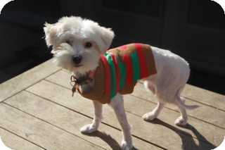 Maltese Mix Dog for adoption in Norwalk, Connecticut - Dolly - MEET HER!