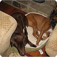 Adopt A Pet :: Apollo - Madison, WI