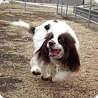 Adopt A Pet :: Panda - Fort Riley, KS