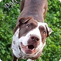 Adopt A Pet :: Patches - Tempe, AZ