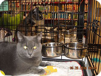 Russian Blue Cat for adoption in Riverside, Rhode Island - Smokey