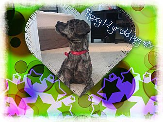 Pug Mix Dog for adoption in Saddle Brook, New Jersey - Roxy