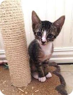 Domestic Shorthair Kitten for adoption in Bulverde, Texas - Striper