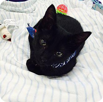 Domestic Shorthair Kitten for adoption in Mansfield, Texas - Bagheera