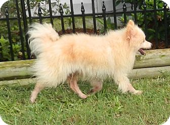Pomeranian Dog for adoption in Umatilla, Florida - Tommy