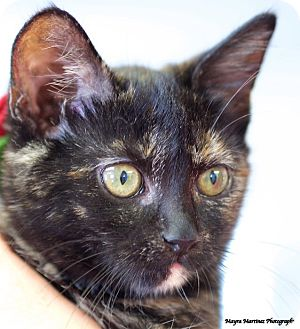 Domestic Shorthair Kitten for adoption in Marietta, Georgia - Shadow