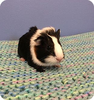 Guinea Pig for adoption in Bellingham, Washington - Joan Jett