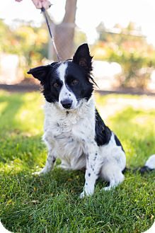Border Collie Mix Dog for adoption in Corning, California - MAGGIE