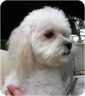 Poodle (Miniature) Mix Dog for adoption in Rolling Hills Estates, California - Alfie