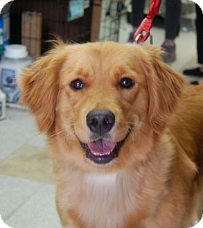 Golden Retriever Mix Dog for adoption in Brooklyn, New York - Lexi