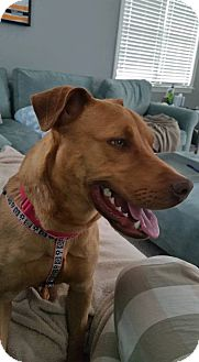 Vizsla/Pit Bull Terrier Mix Dog for adoption in Boston, Massachusetts - Alex