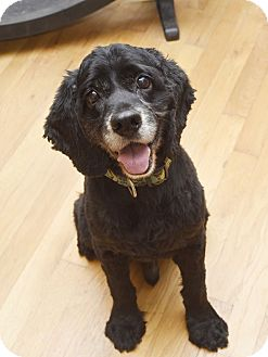 Cocker Spaniel Mix Dog for adoption in Chattanooga, Tennessee - Cooper