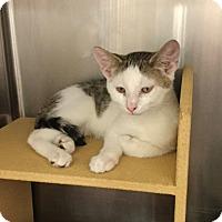 Adopt A Pet :: Dasher - Colmar, PA