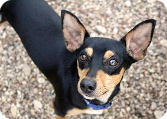 Chihuahua Mix Dog for adoption in Waco, Texas - Rocky
