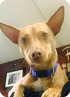 Chihuahua Mix Dog for adoption in West Allis, Wisconsin - Romeo