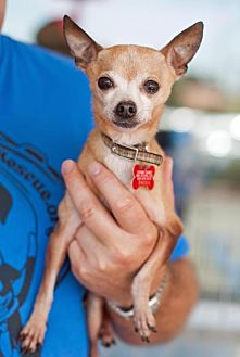 Chihuahua Mix Dog for adoption in San Diego, California - Otto