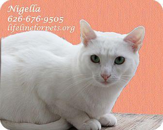 Domestic Shorthair Cat for adoption in Monrovia, California - A Young Female: NIGELLA