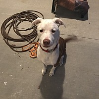 Pointer/Pointer Mix Dog for adoption in High Springs, Florida - Champ