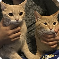 Adopt A Pet :: Princess & Tiger - Harrison, NY