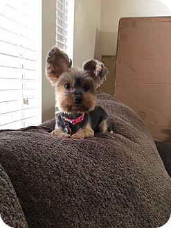 Yorkie, Yorkshire Terrier Dog for adoption in Albuquerque, New Mexico - Winnie