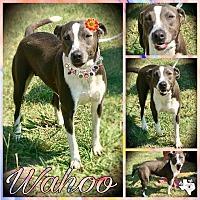 Adopt A Pet :: Wahoo - Quinlan, TX