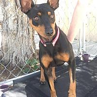 Adopt A Pet :: Bender - Pueblo, CO
