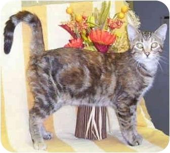 Domestic Shorthair Cat for adoption in Murphysboro, Illinois - Gypsy
