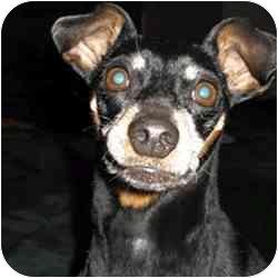 Miniature Pinscher Mix Dog for adoption in Greensboro, North Carolina - Mr Manly