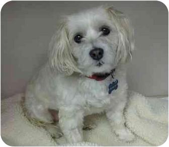 Lhasa Apso/Shih Tzu Mix Dog for adoption in Saanichton, British Columbia - Sophia