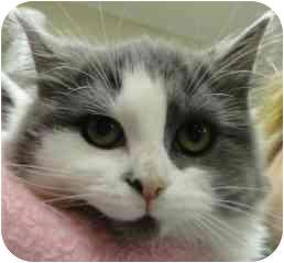 Domestic Mediumhair Kitten for adoption in Spruce Pine, North Carolina - Jade