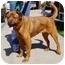 Photo 2 - Retriever (Unknown Type)/German Shepherd Dog Mix Dog for adoption in Berkeley, California - Toby
