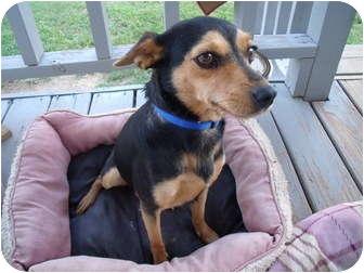 Miniature Pinscher/Terrier (Unknown Type, Small) Mix Dog for adoption in Glastonbury, Connecticut - Cookie-update