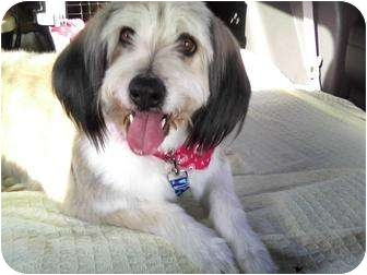 Tibetan Terrier/Poodle (Standard) Mix Dog for adoption in New Jersey, New Jersey - NJ - Rosie