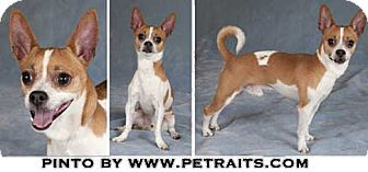 Chihuahua Dog for adoption in Chicago, Illinois - Pinto
