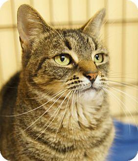 Domestic Shorthair Cat for adoption in Medford, Massachusetts - Olive